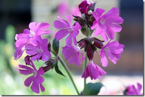 Red campion 0855
