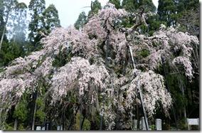 TakayamamuraTsuboi noshidarezakura