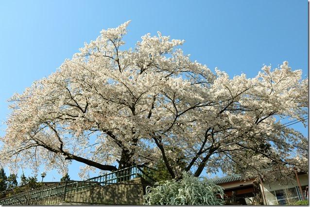 Sakura2117