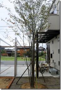 庭に植えたシンボルツリーのヤマボウシ株たち