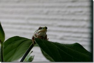 クラピアの庭で見つけたカエル
