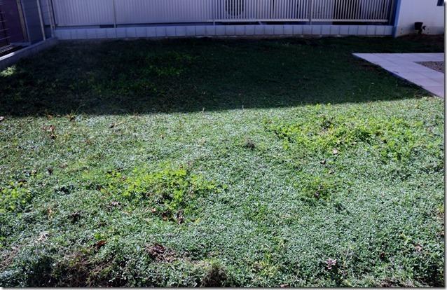 クラピアを植えて寸年経過の現場