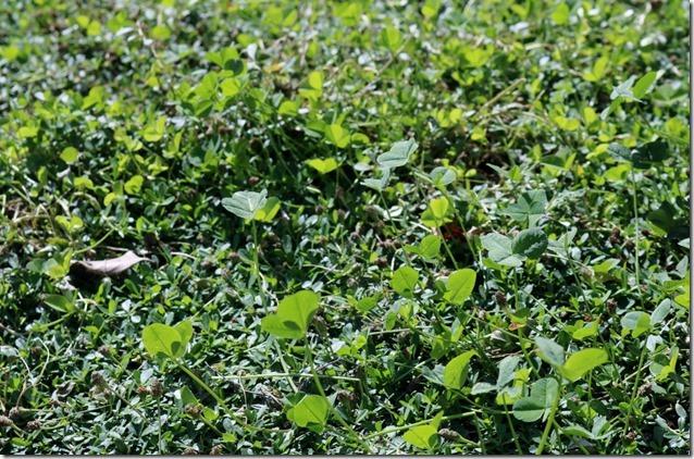 クラピアの中に入り込んだ雑草