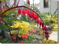 タイツリソー・バレンタイン2014-04-26 07.30.05