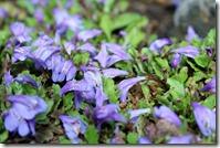 サギゴケ 紫