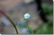 白花イトシャジン