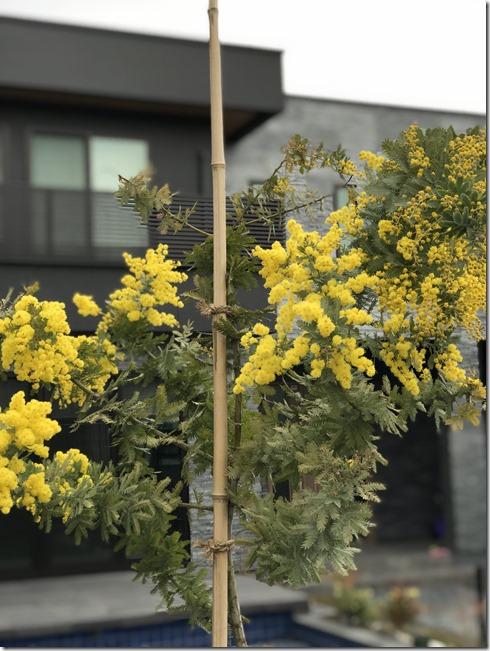 mimoza exterior