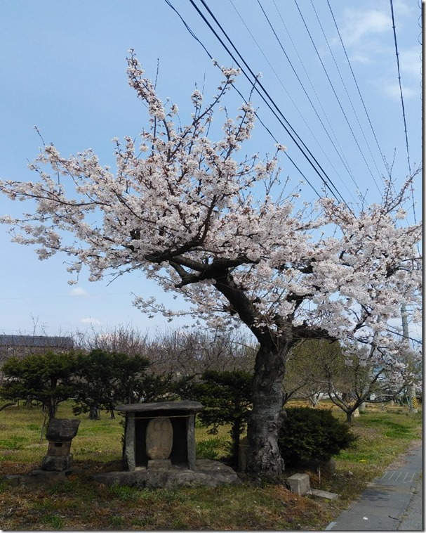 jizou sakura
