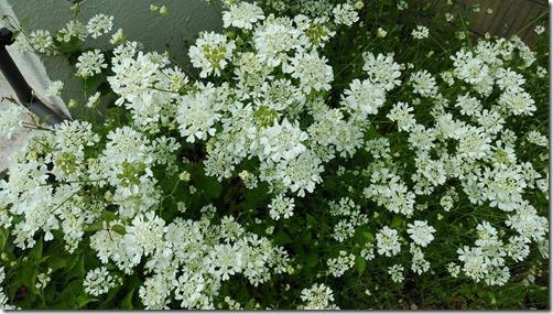 white rase flower